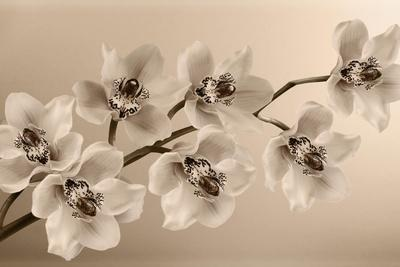 Branch of Sepia Orchids