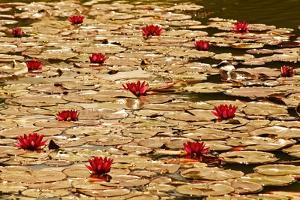 Golden Waterlily Pond by Tom Quartermaine