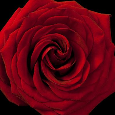 Red Rose 04