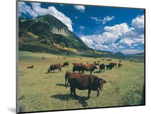 Cattle Grazing on Mt. Crested Butte, Colorado by Tom Stillo