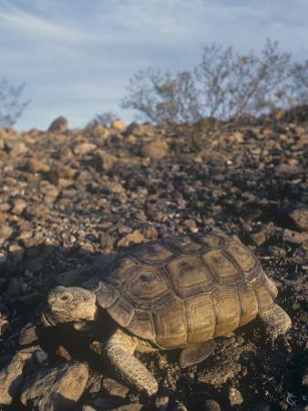 Desert Tortoise (Gopherus Agassizii) a Threatened Species, Mojave Desert, California, USA by Tom Ulrich