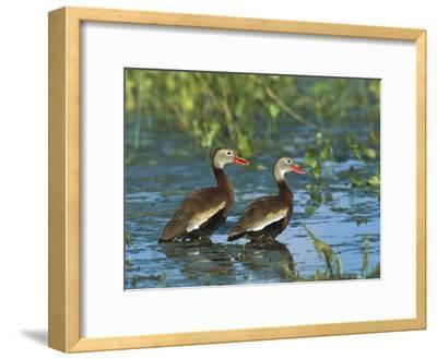 Black-Bellied Whistling Duck (Dendrocygna Autumnalis) Pair Wading, Rio Grand Valley, Texas