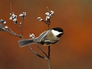 Black-Capped Chickadee (Parus Atricapillus) in Bayberry Bush, Long Island, New York by Tom Vezo/Minden Pictures