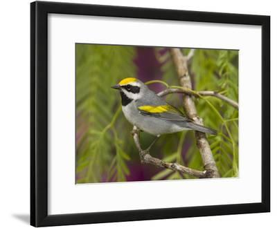Golden-Winged Warbler (Vermivora Chrysoptera) Male Perched on Branch, Rio Grande Valley, Texas