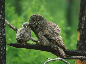 Great Gray Owl (Strix Nebulosa) Adult with Chick, Saskatchewan, Canada by Tom Vezo/Minden Pictures
