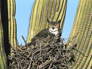 Great Horned Owl (Bubo Virginianus) Nesting in Saguaro (Cereus Gigantea) Cactus, Tucson, Arizona by Tom Vezo/Minden Pictures