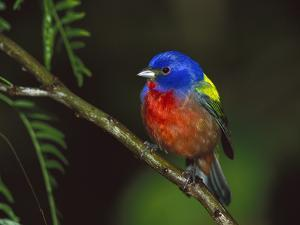 Painted Bunting (Passerina Ciris) Male Perching on Branch, Texas by Tom Vezo/Minden Pictures