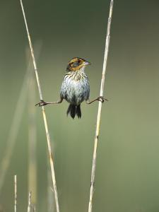 Saltmarsh Sharp-Tailed Sparrow (Ammodramus Caudacutus) Perched on Reeds, Long Island, New York by Tom Vezo/Minden Pictures