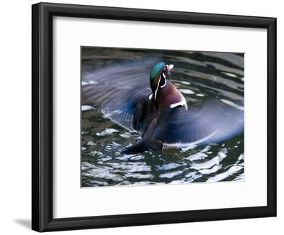 Wood Duck (Aix Sponsa) Flapping Wings in Water, North America