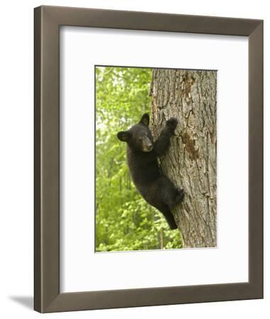Black Bear (Ursus Americanus) Cub Climbing a Tree, North America