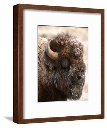 Bull Bison Head in Winter (Bison Bison), North America