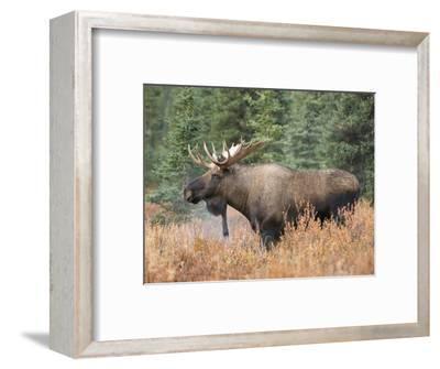 Bull Moose (Alces Alces), Denali National Park, Alaska, USA