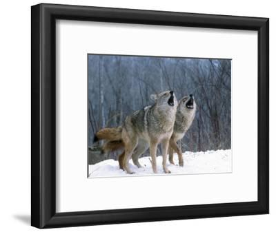 Coyotes (Canis Latrans) Howling, Wyoming, USA