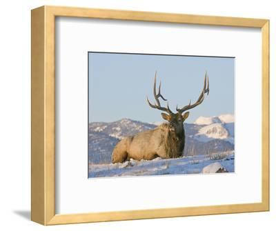 Elk (Cervus Elaphus), Yellowstone, Wyoming, USA