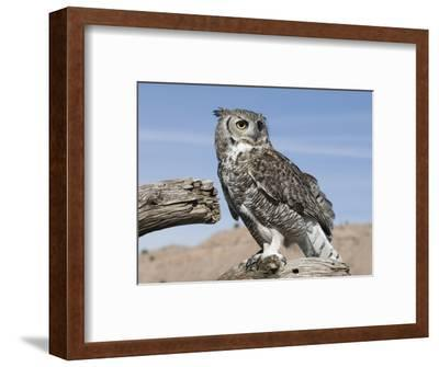 Great Horned Owl (Bubo Virginianus), San Juan Mountains, New Mexico