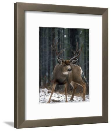 Male Mule Deer (Odocoileus Hemionus) Alberta, Canada