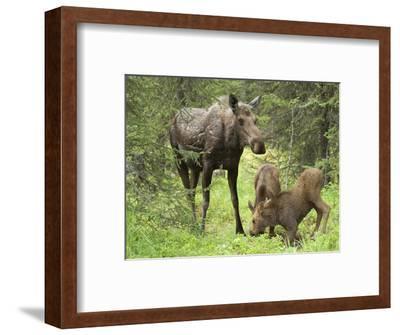 Moose Cow with Two Calves in Spring (Alces Alces), Kenai, Alaska, USA