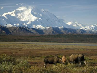 Moose Sparring on the Tundra with Mt. Mckinley in The Background (Alces Alces) by Tom Walker