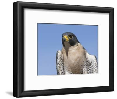 Peregrine Falcon (Falco Peregrinus), San Juan Mountains, New Mexico