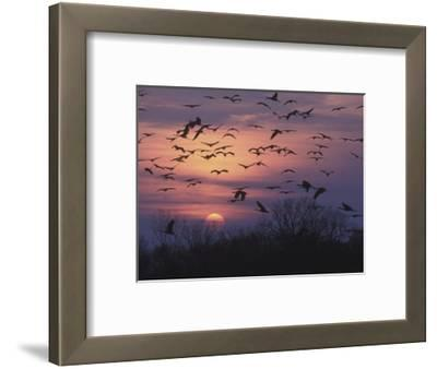 Sandhill Cranes Flying to Roost (Grus Canadensis), Platte River, Nebraska, USA