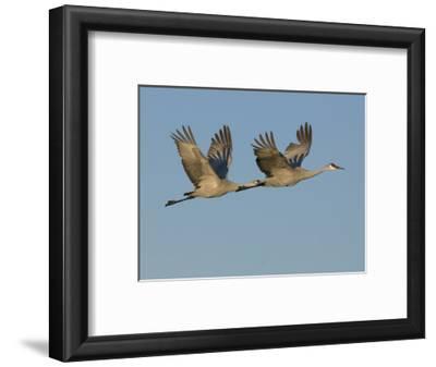 Sandhill Cranes in Flight (Grus Canadensis), Bosque Del Apache, New Mexico, USA