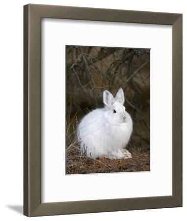 Snowshoe Hare in its Winter Pelage before Snow Covers the Ground (Lepus Americanus), Alaska, USA