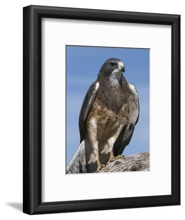 Swainson's Hawk (Buteo Swainsonii), San Juan Mountains, New Mexico