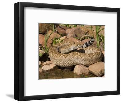 Western Diamondback Rattlesnake (Crotalus Atrox) at a Desert Waterhole, Western USA
