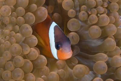 Tomato Anemonefish (Amphiprion Frenatus)-Reinhard Dirscherl-Photographic Print