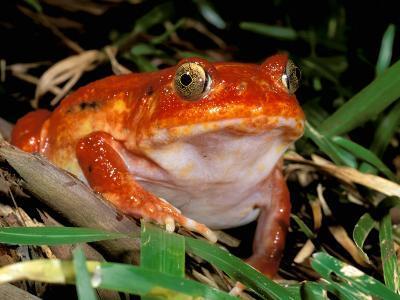 Tomato Frog, Madagascar-Pete Oxford-Photographic Print