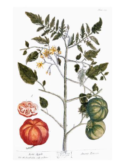 Tomato Plant, 1735-Elizabeth Blackwell-Giclee Print