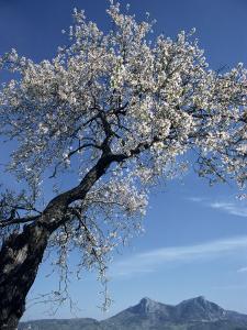 Almond Tree in Spring Blossom, Zahara De La Sierra, Andalucia, Spain, Europe by Tomlinson Ruth