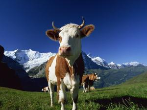 Brown and White Cow in Alpine Meadow, First, Grindelwald, Bern, Switzerland, Europe by Tomlinson Ruth