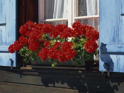 Red Geraniums and Blue Shutters, Bort, Grindelwald, Bern, Switzerland, Europe