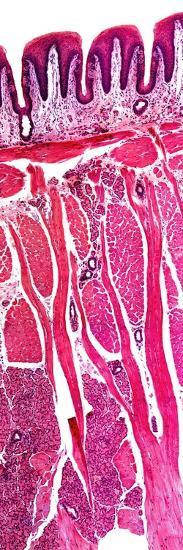 Tongue Section, Light Micrograph-Dr. Keith Wheeler-Photographic Print
