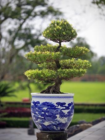 Bonsai Tree at Thai Hoa Palace