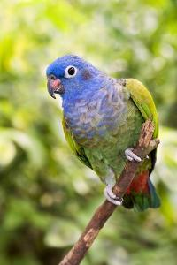 Blue-headed Parrot by Tony Camacho