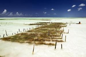Kelp Farming, Zanzibar by Tony Camacho