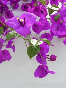 Bougainvillea Plant by Tony Craddock