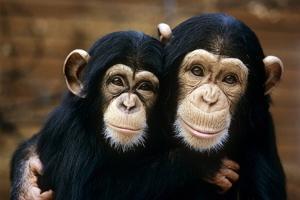Chimpanzees by Tony Craddock