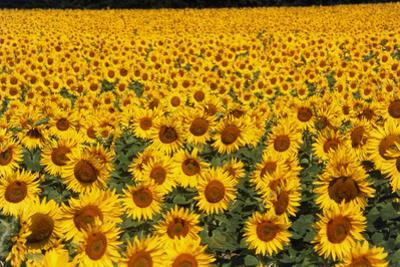 Field of Sunflowers, France by Tony Craddock