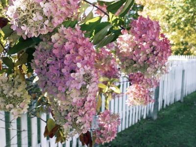 Hydrangea Garden Flowers by Tony Craddock