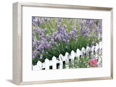 Lavender And Picket Fence