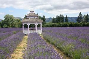 Lavender Field, USA by Tony Craddock