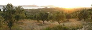 Olive Grove At Sunrise by Tony Craddock