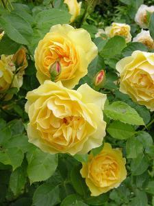 Roses (Rosa Sp.) by Tony Craddock