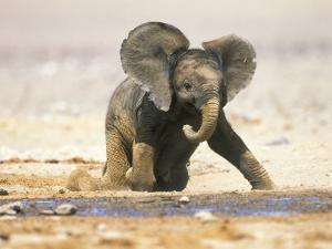 African Elephant Calf on Knees by Water, Kaokoland, Namibia by Tony Heald
