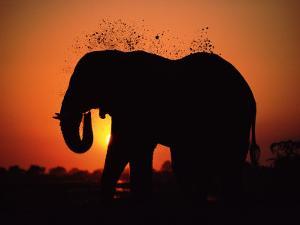 African Elephant Dusting Itself at Dusk, Chobe National Park, Botswana, Southern Africa by Tony Heald