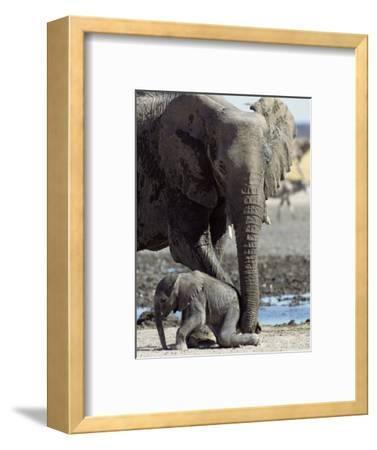 African Elephant Female Helping Baby (Loxodonta Africana) Etosha National Park, Namibia