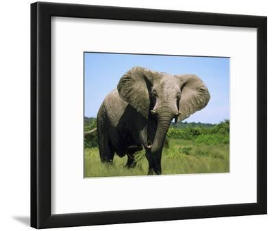 African Elephant Grazing, Chobe National Park Botswana